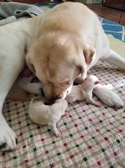 Show Den Labradors